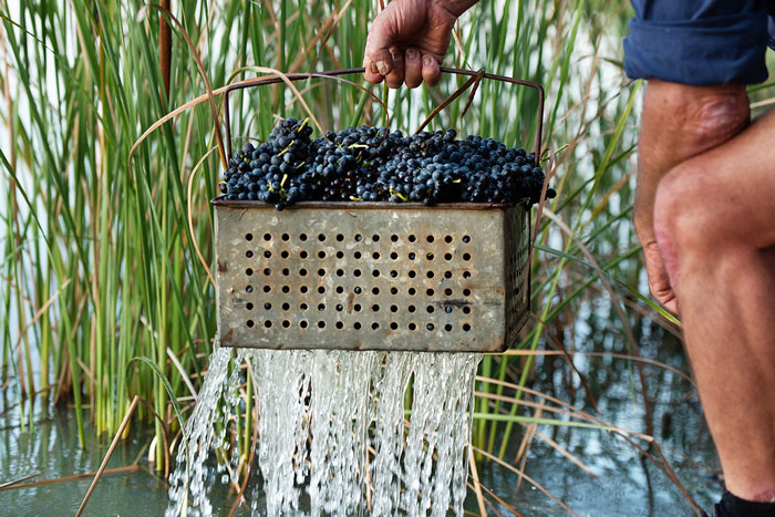water flowing from bottom of metal basket holding grapes in front of river reeds