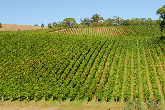 rows of green Adelaide Hills vineyards with clear blue sky
