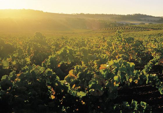 Coonawarra vineyards at sunset