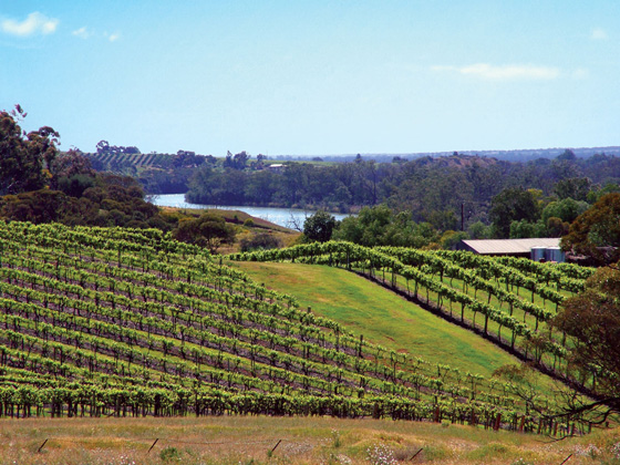Riverland vineyards with Murray River and blue sky in the background
